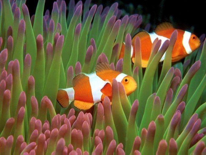Gambar Ikan Nemo Wallpaper Bergerak Jenis Ikan Nemo Atau Ikan Badut