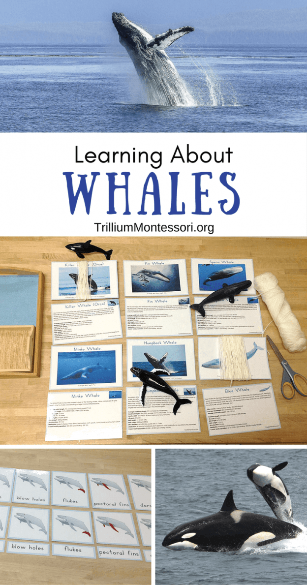Vorschul- und Montessori-Aktivitäten zum Erlernen von Walen , äten