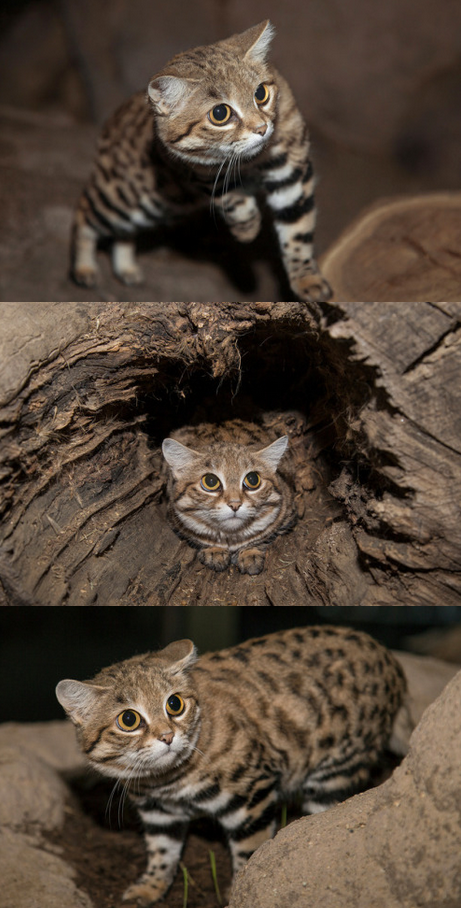 Blackfooted cats, Yuna and Sawyer, may resemble your