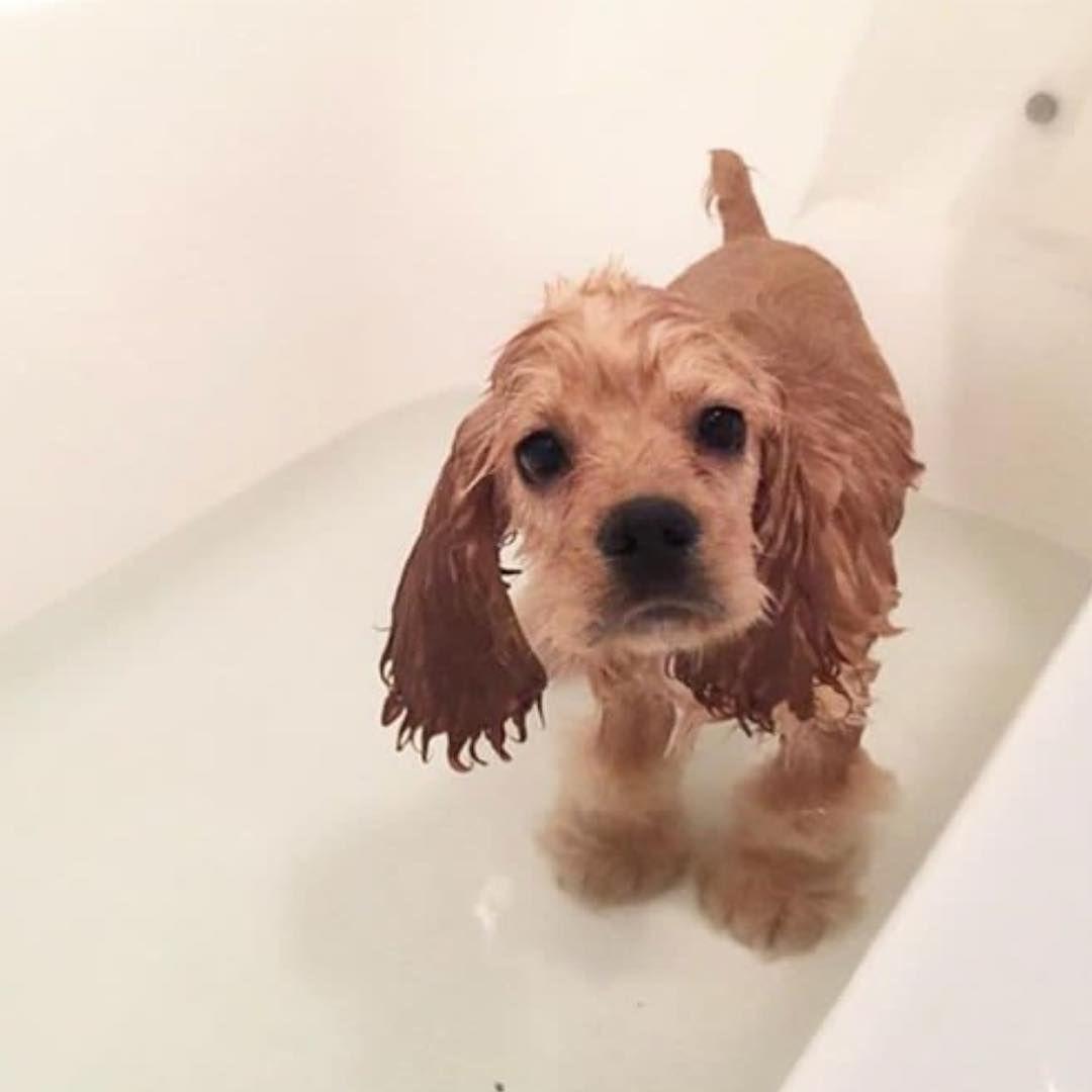 How Cute Is This Cocker Spaniel Puppy Puppy S First Bath