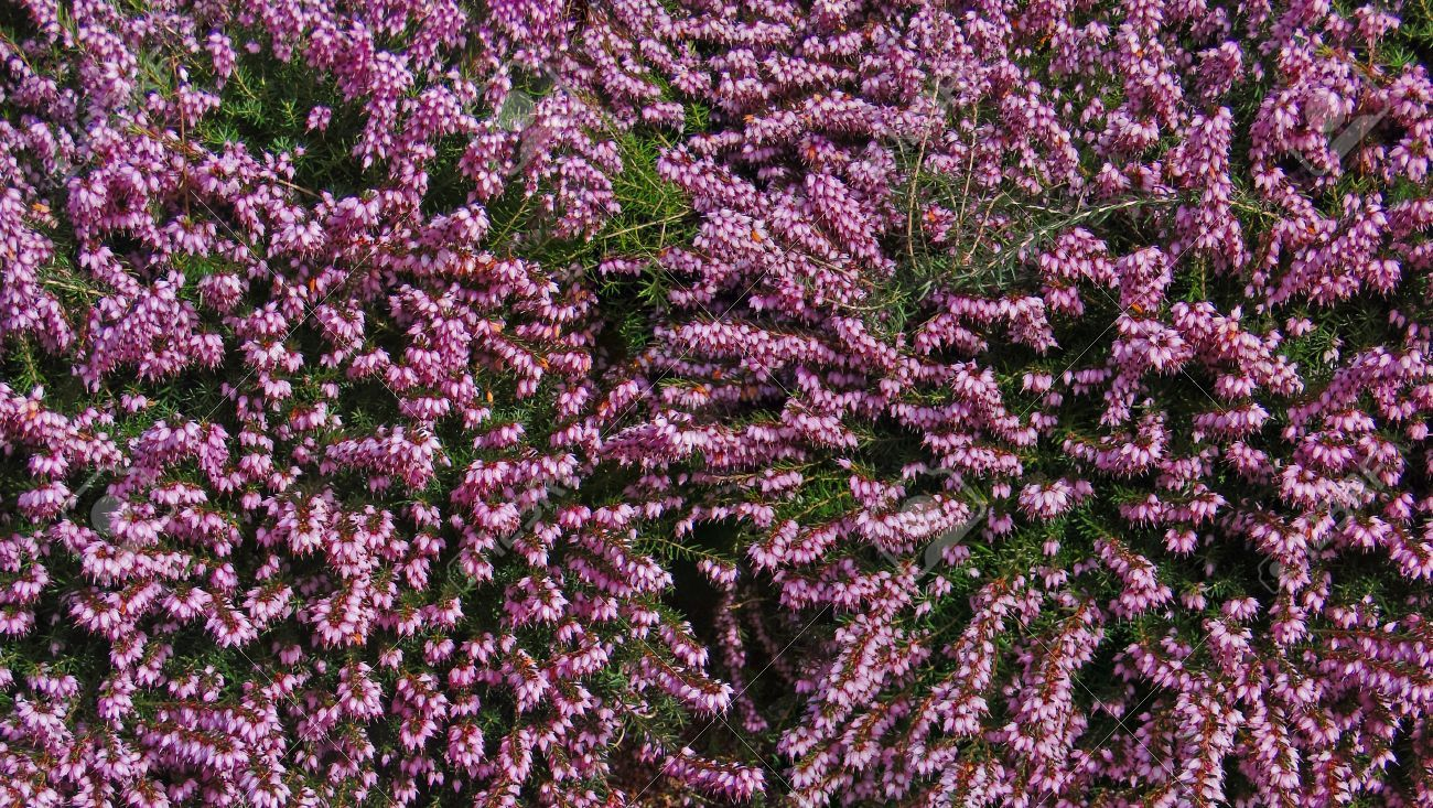 Common Name Spring Heather Scientific Name Erica Carnea Cv Season Bloom In Late Summer Uses Exterior Plant Fun Fact Heather Flowers A Bloom Spring Plants