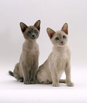 Tonkinese Breeds Info Temperament Kitten Names Price
