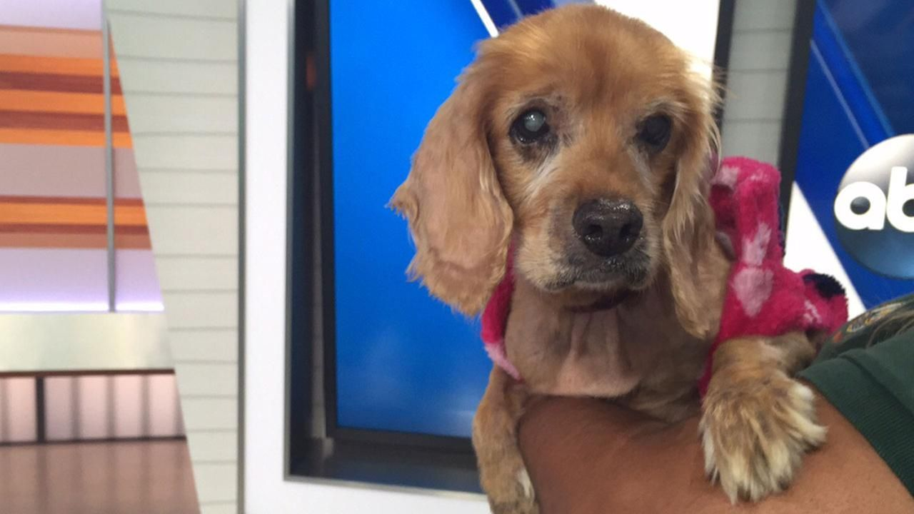 Pet Of The Week Jenny A 15 Year Old Cocker Spaniel Cocker Spaniel Pets Spaniel