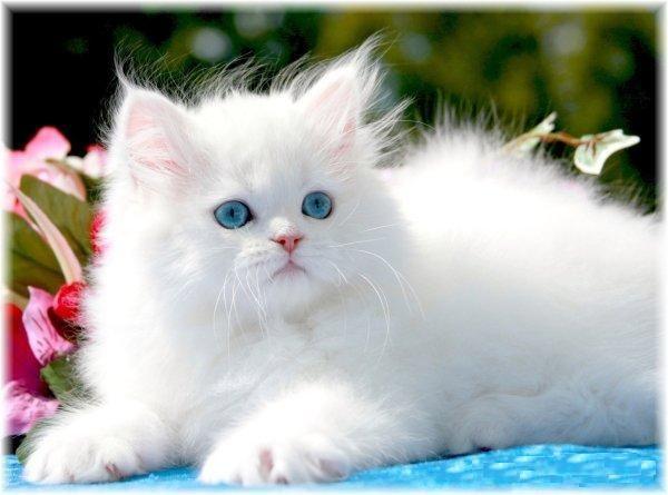 f0df6498d2 Beautiful white   blue eyed Persian kitten  3 WANT