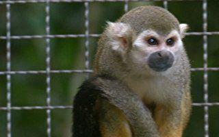 Micos de cheiro são expulsos de reserva em PE devido à super reprodução