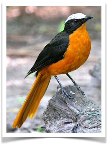 Exotic Birds For Sale >> White Crowned Robin Chat Birds Pet Birds Birds For Sale Wild Birds