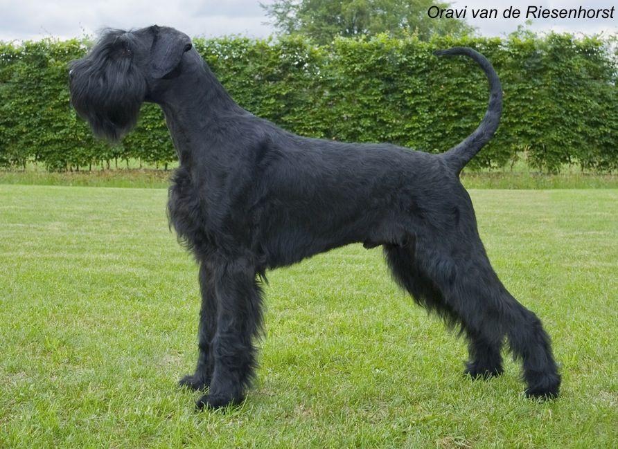Riesenschnauzer Guard Dog Breeds Giant Schnauzer Schnauzer Dogs