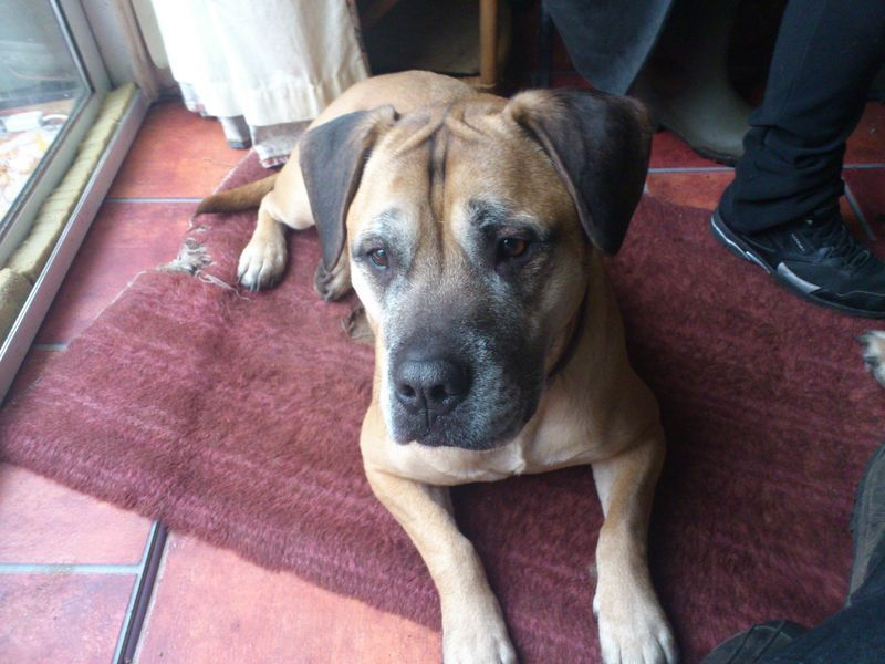 This Is Demon He Is A Beagle Cross Bullmastiff He Is A Large