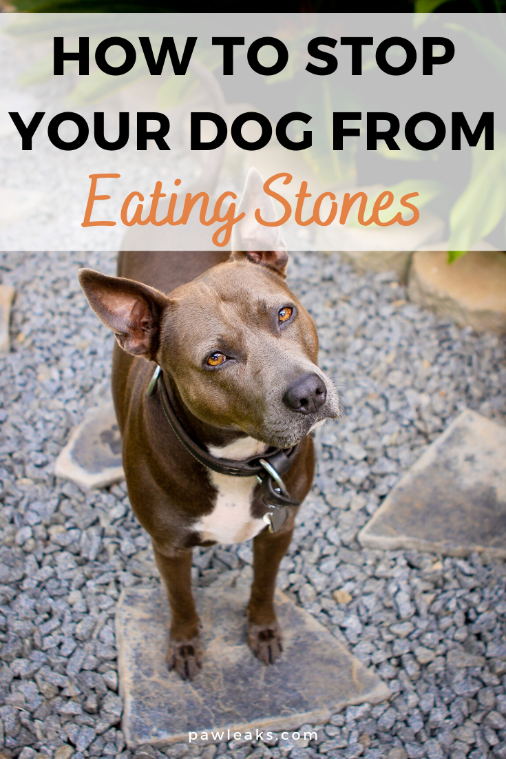 How To Stop Your Puppy From Eating Stones Today Pawleaks In 2020 Puppies Dog Behavior Dog Behavior Problems