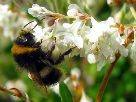 'Bumblebee - Hummel' von Linda Schilling bei artflakes.com als Poster oder Kunstdruck $16.63