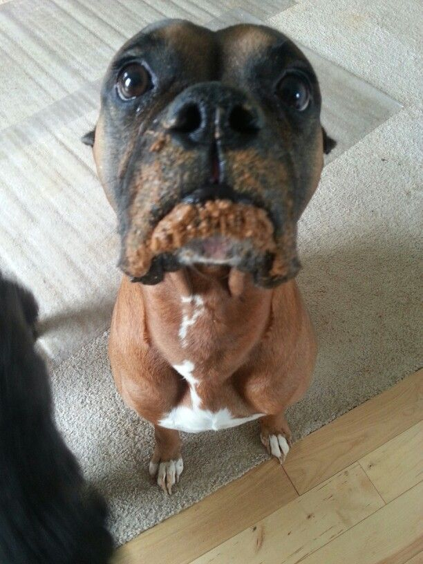 16 Reasons Boxers Are Not The Friendly Dogs Everyone Says They Are