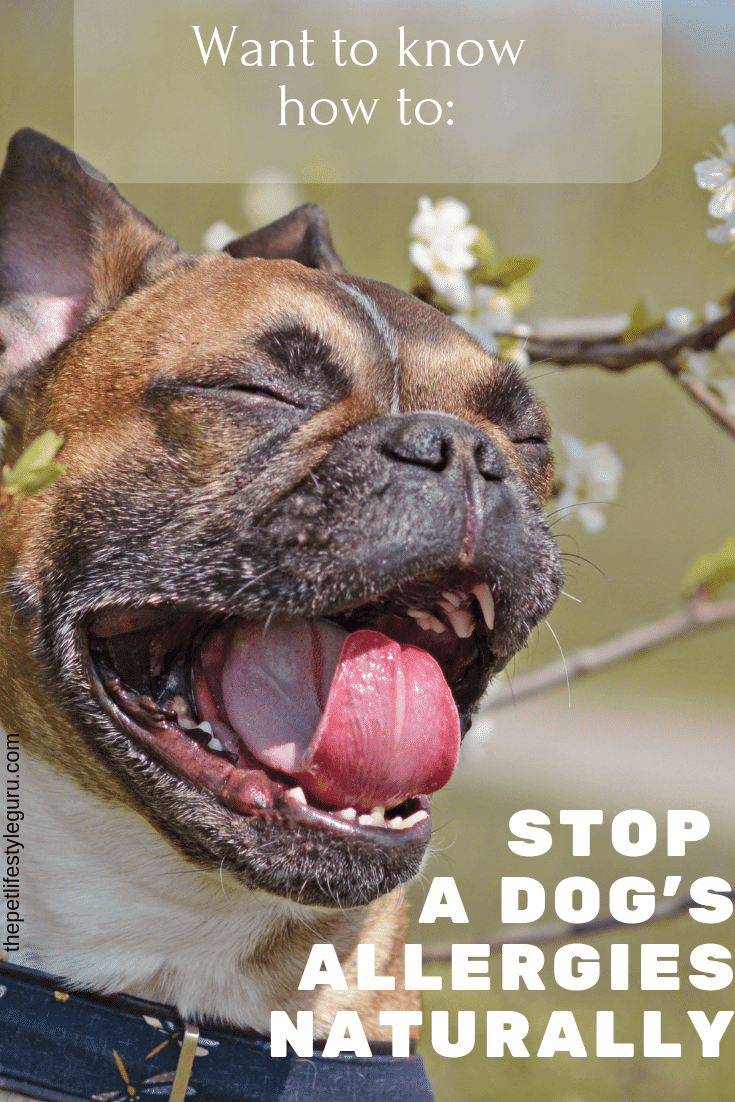 Achoo Dogs Get Seasonal Allergies Too And It Can Be A Big Bummer Learn How To Stop Your Dog S Seasonal Allergies Naturally Dog Allergies Dogs Holistic Dog