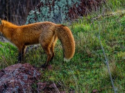 Photo: Red fox shows its true colors
