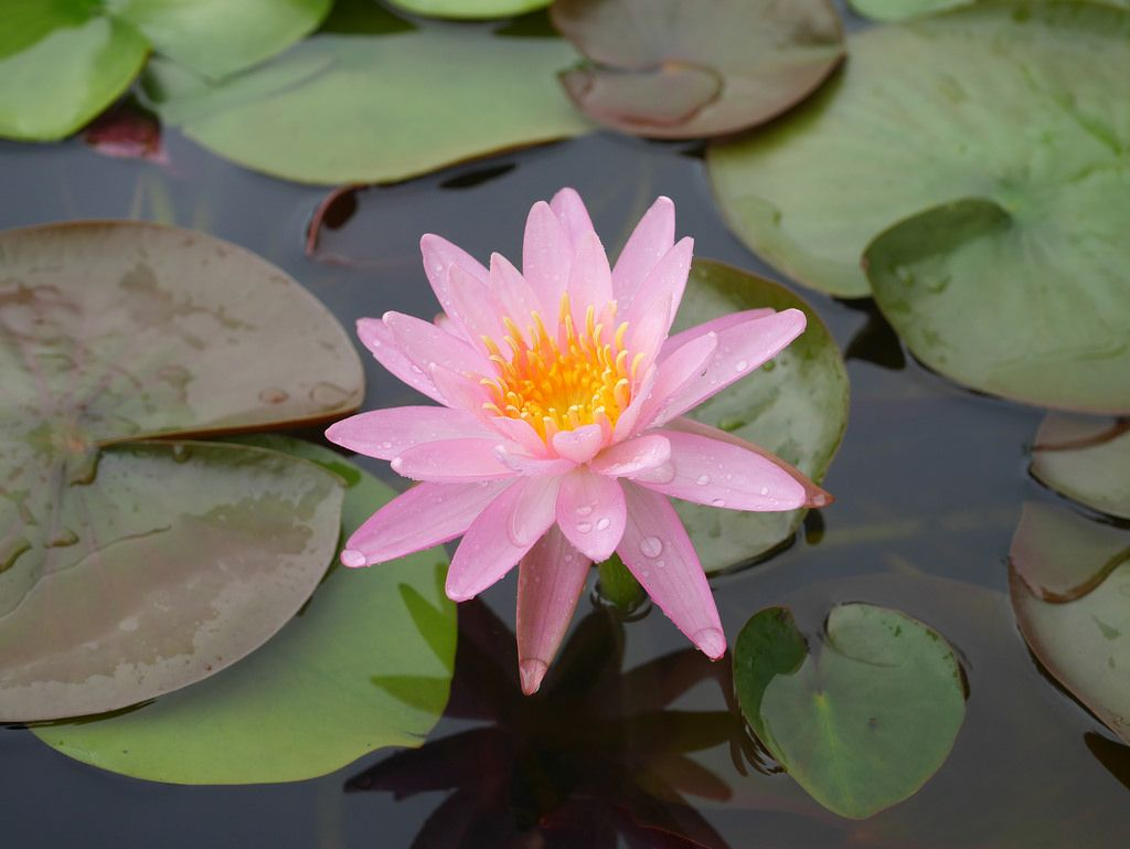 Nymphaea Rose Arey Hardy Waterlily Thailand 004 Pink Photos And