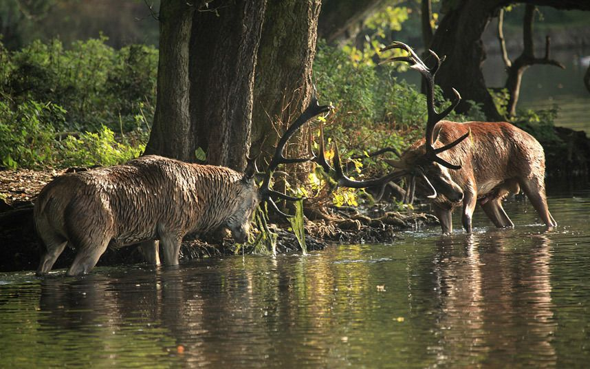 Two red stags in a brutal fight to win a possible mate. The photograph shows the stags locking antlers and charging at each other in a stream in Wollaton Deer Park, Nottingham