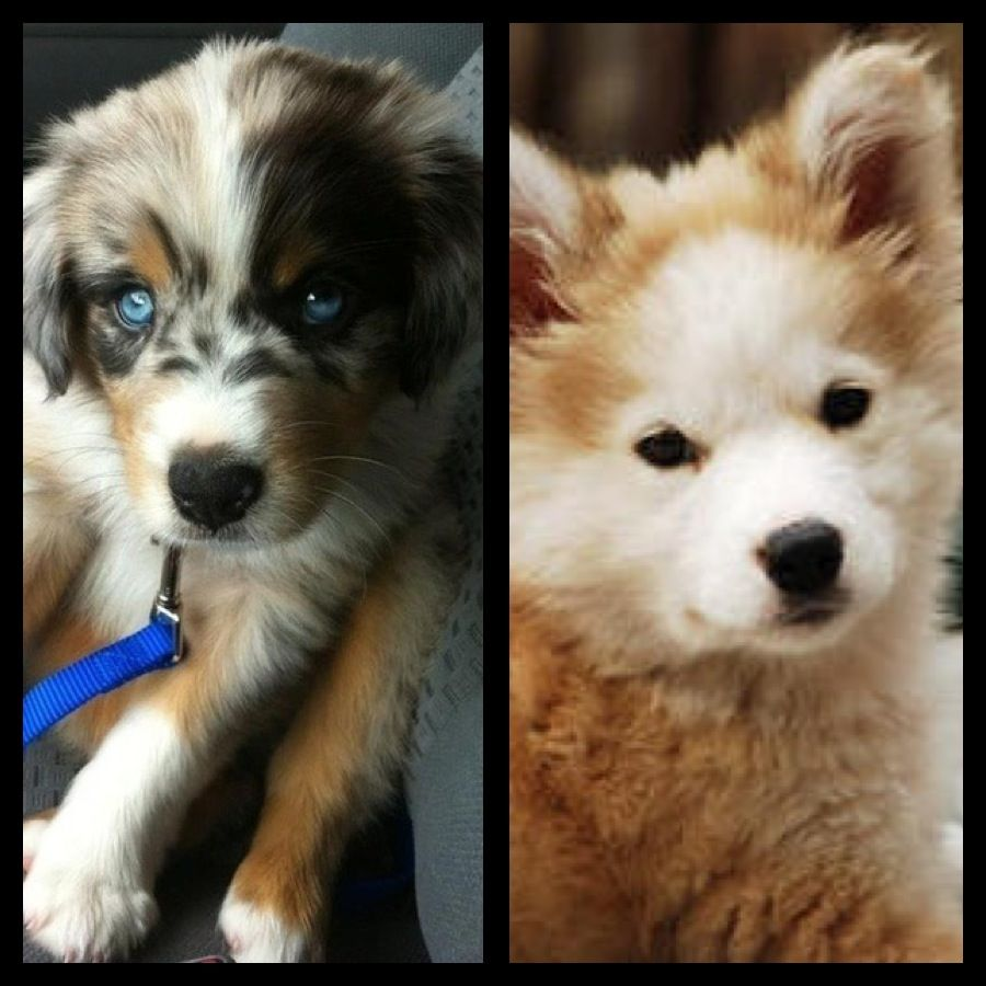 Left Australian Shepherd Right Goberian Golden Retriever
