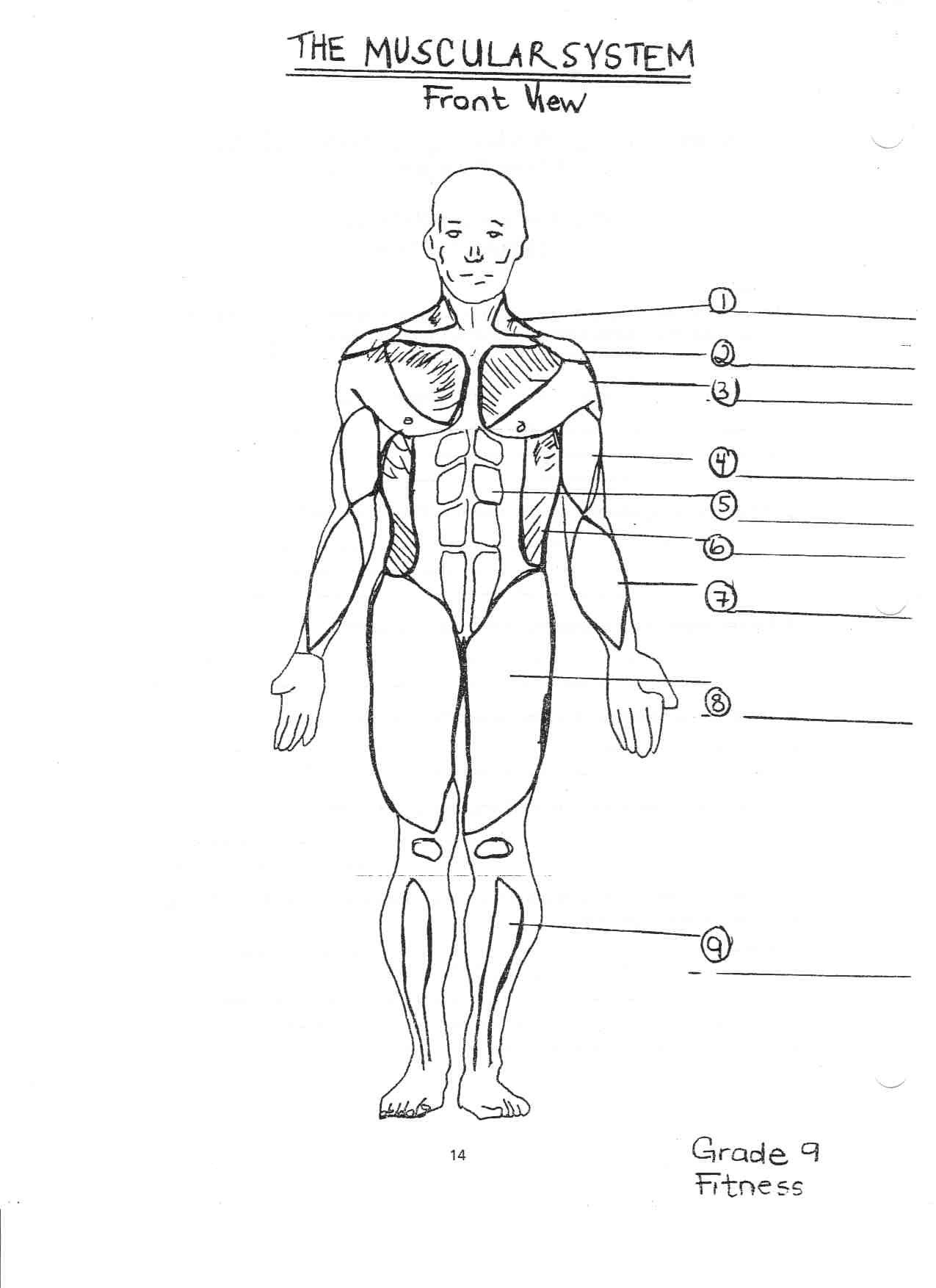 simple muscle diagram for kids simple muscle diagram human body