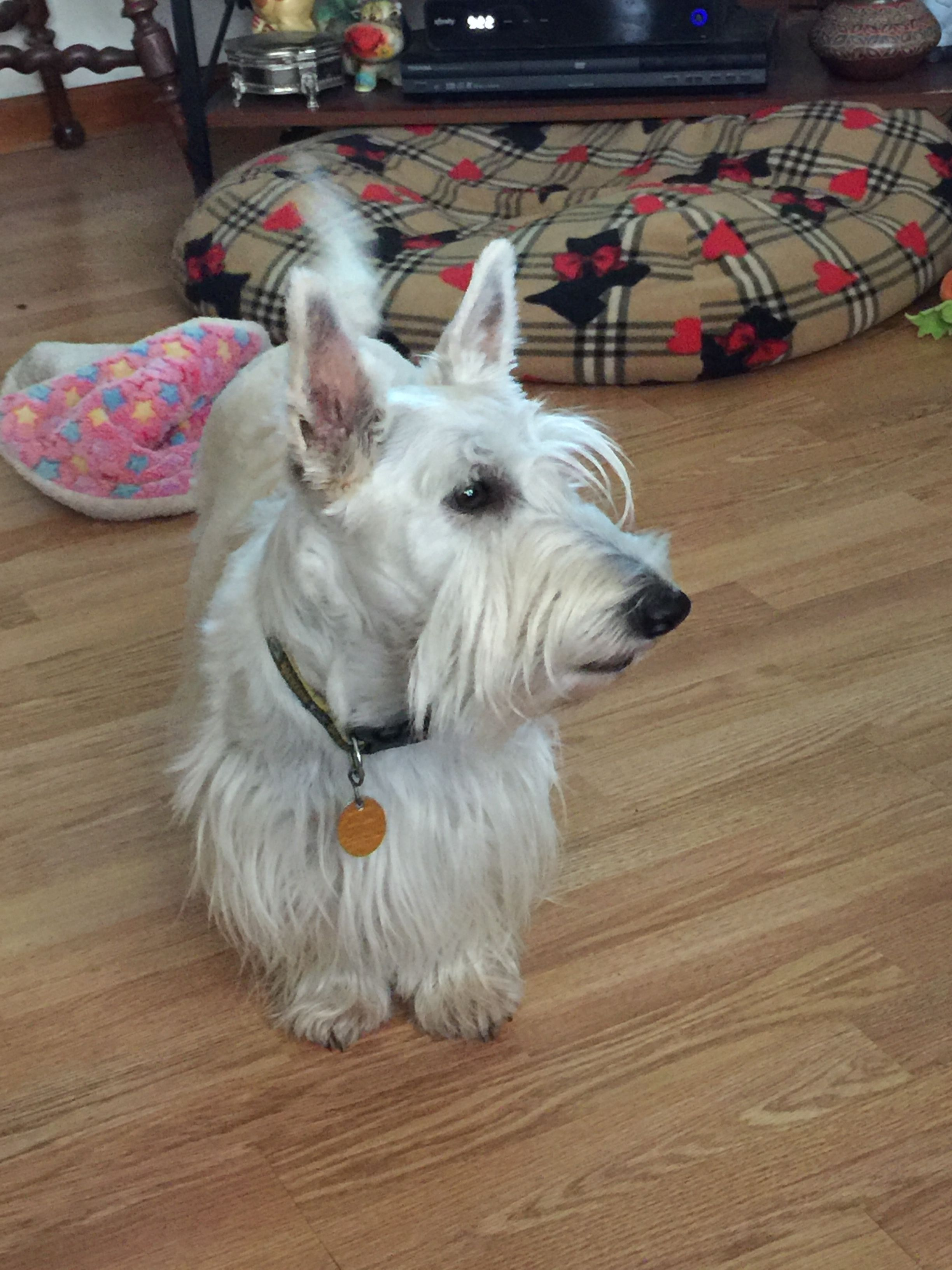 Pin By Kathy Rocha On Scottish Terriers Scottish Terrier West