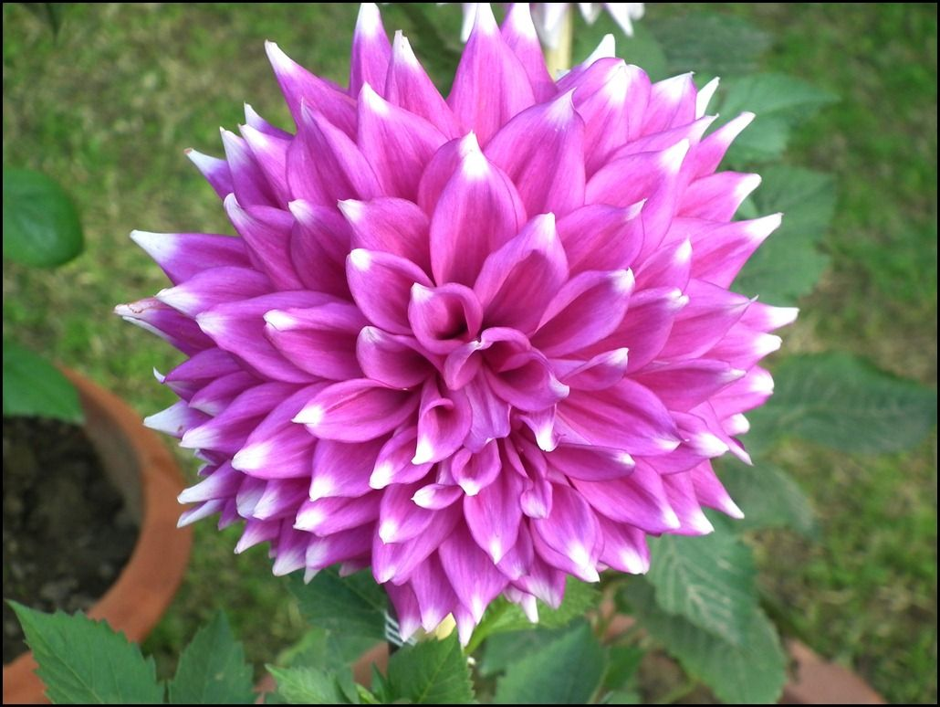 Pink White Dahlia Flower Da Wallpapers
