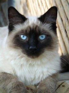 Balinese Long Haired Siamese Kittens Hypoallergenic Ottawa