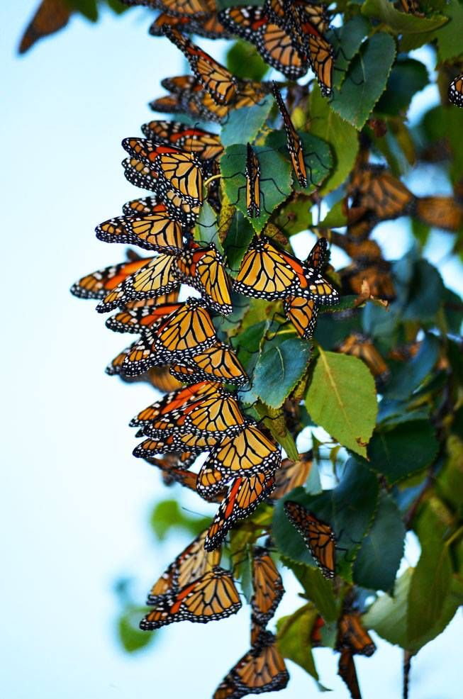 Monarch butterflies preparing for their great fall