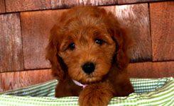 Goldendoodle Puppies By Elegant Puppies Grand Rapids Mi