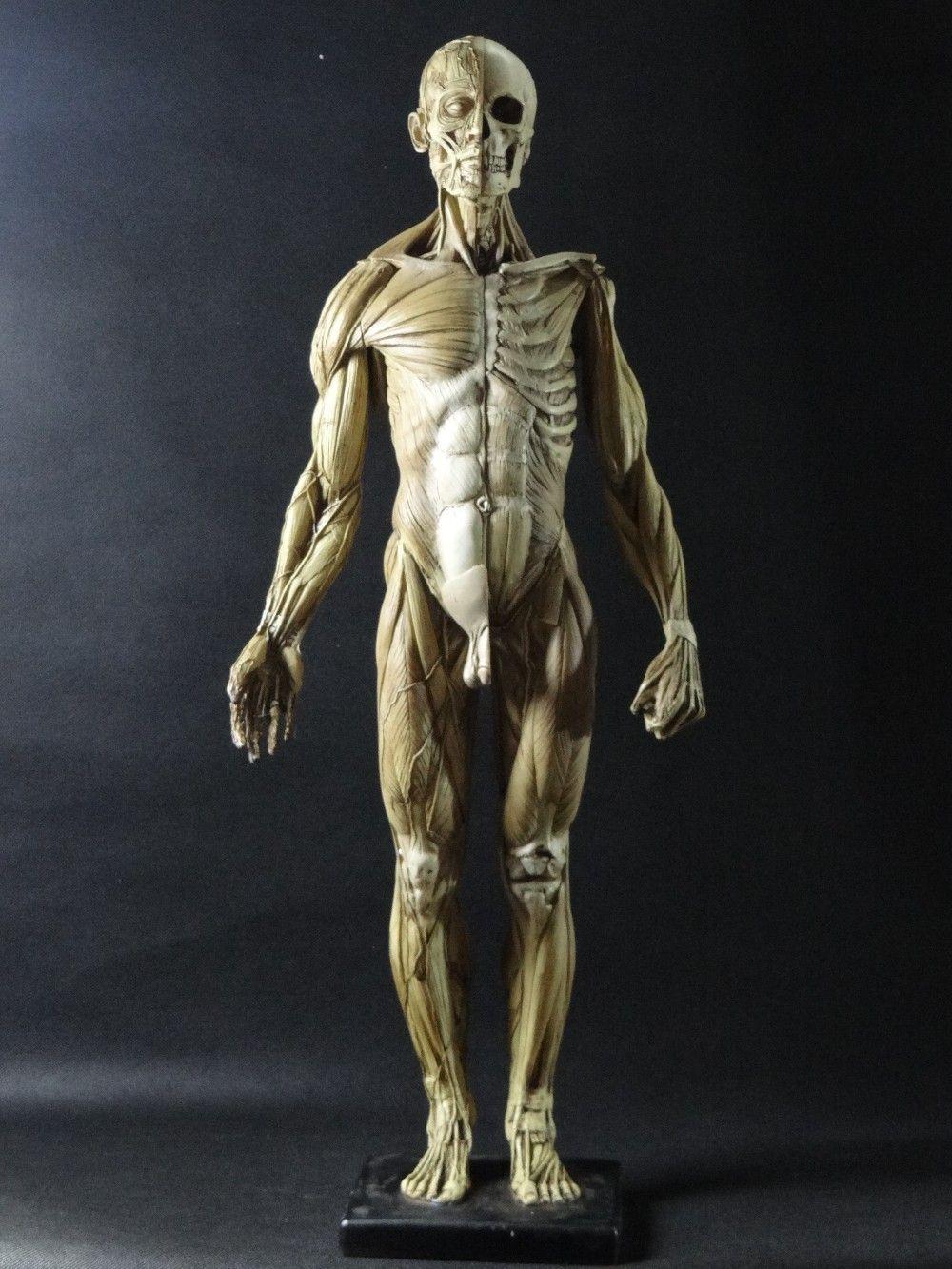 45cm Model Emulation Resin Muscular Human Anatomy Model For Art And