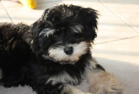 Whisky The Havanese Dale Holman Maine Pets Havanese Puppies
