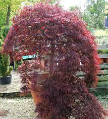 Risultati immagini per japan nursery tree plant