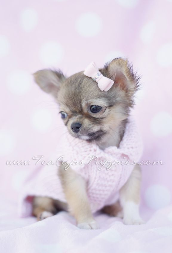 Tiny Long Haired Chihuahua Puppy By Teacupspuppies Com Chihuahua