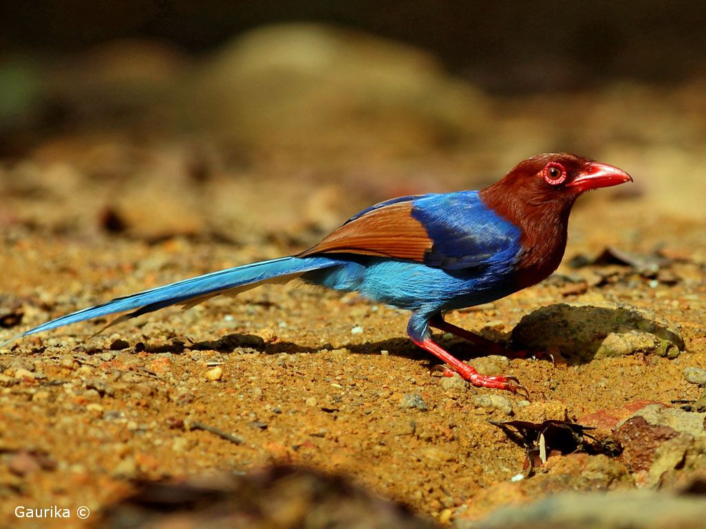 Sri Lankan Endemic Birds: Kahibella - Lanka Blue Magpie