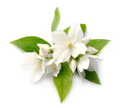 Jasmine Absolute Floral And Seductive Jasmine Is An Important