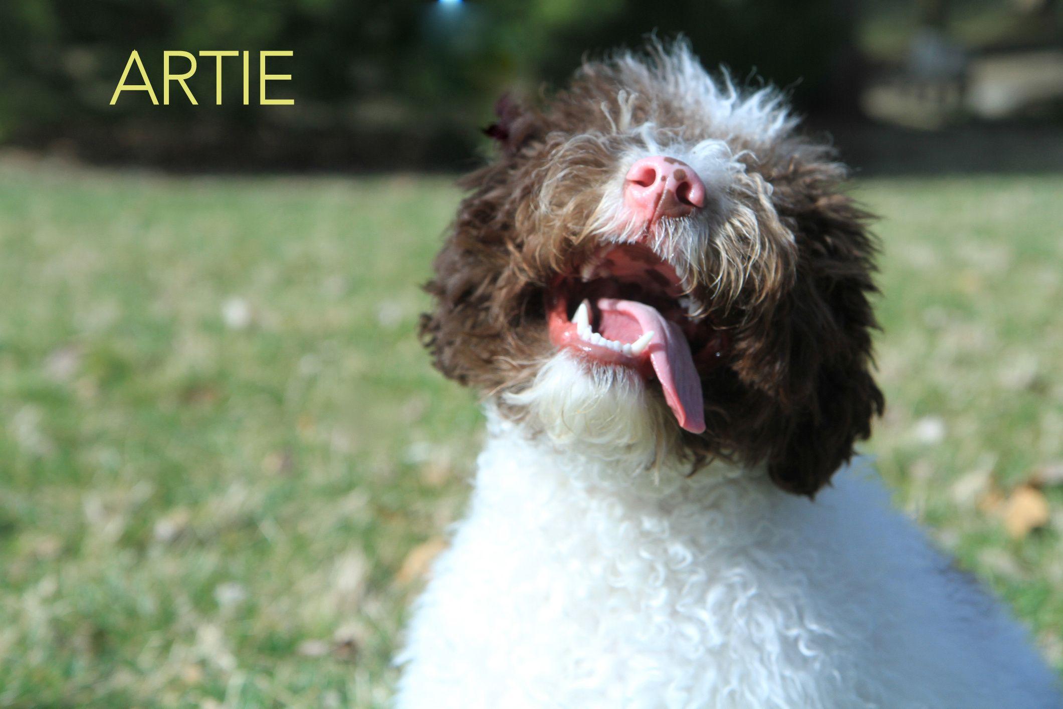 Lagotto Romagnolo Artie Lagotto Romagnolo Dogs