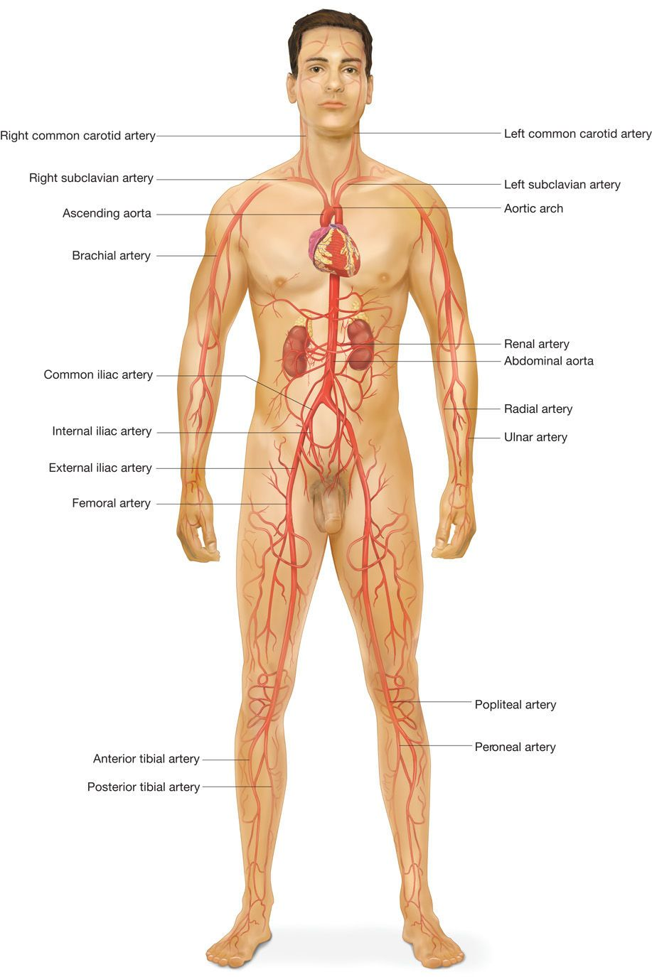 Major Arteries Of The Body Game Combative Anatomy Anatomy Human