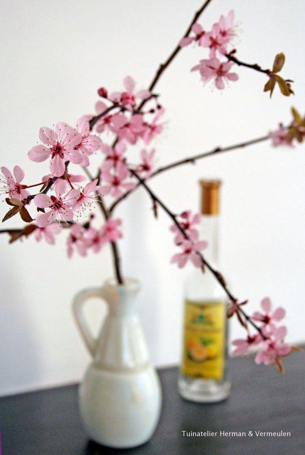 #voorjaar #sakura #japan #prunus #kersenbloesem #Prunus cerasifera 'Nigra'