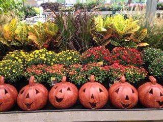 Seville Farms Mums Grass And Crotons At Lowe S In Texas