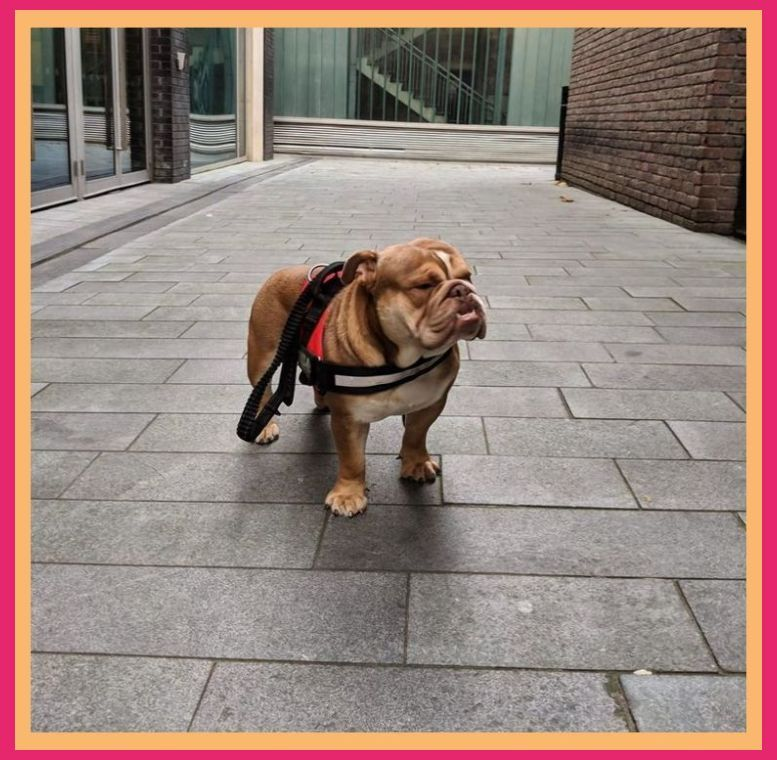 Find English Bulldogs Dogs Puppies For Sale Uk At The Uk S Largest Independent Free Classifieds Site Purchase And Sell English Bulldogs Dogs B In 2020