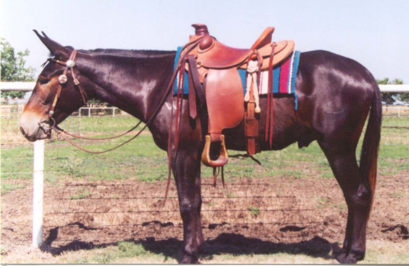 mules photo   marshall dillon 4yo john mule 14 3 hands this good young mule has gone ...
