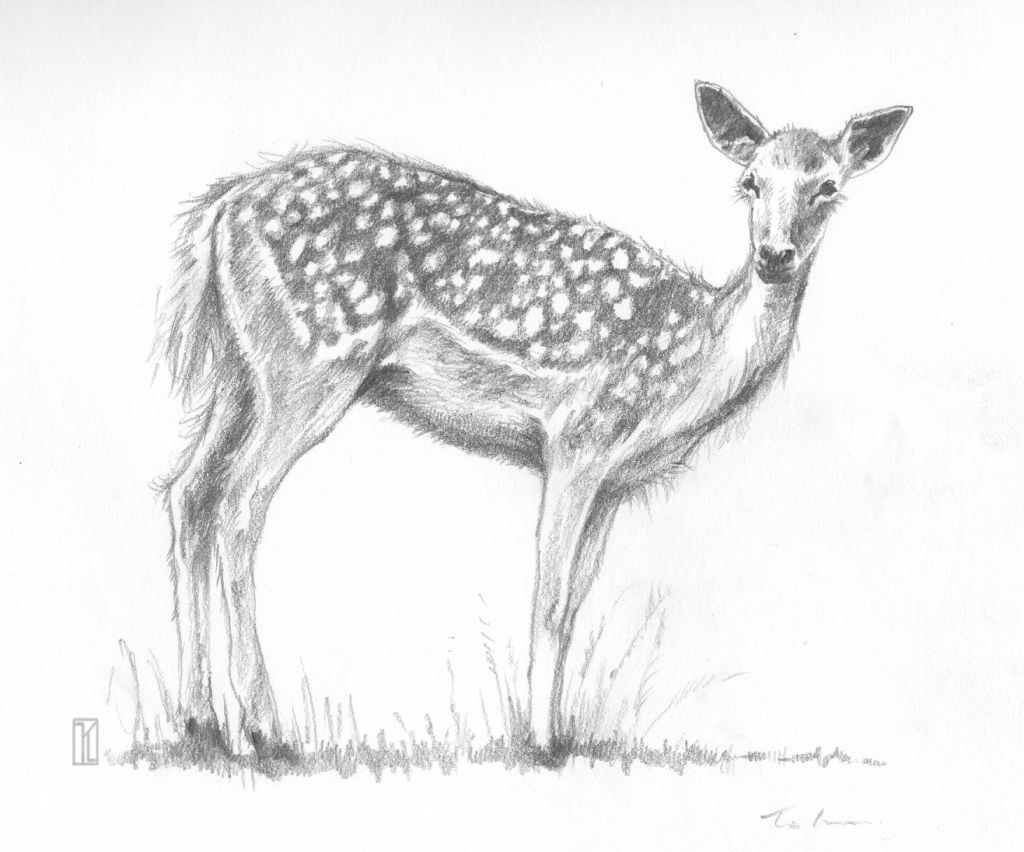 Pencil drawing of deer animal pencil drawing of deer drawing art library