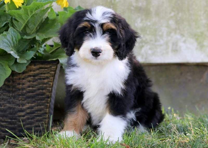 Park Art|My WordPress Blog_Bernedoodle Puppies Immediately Available California