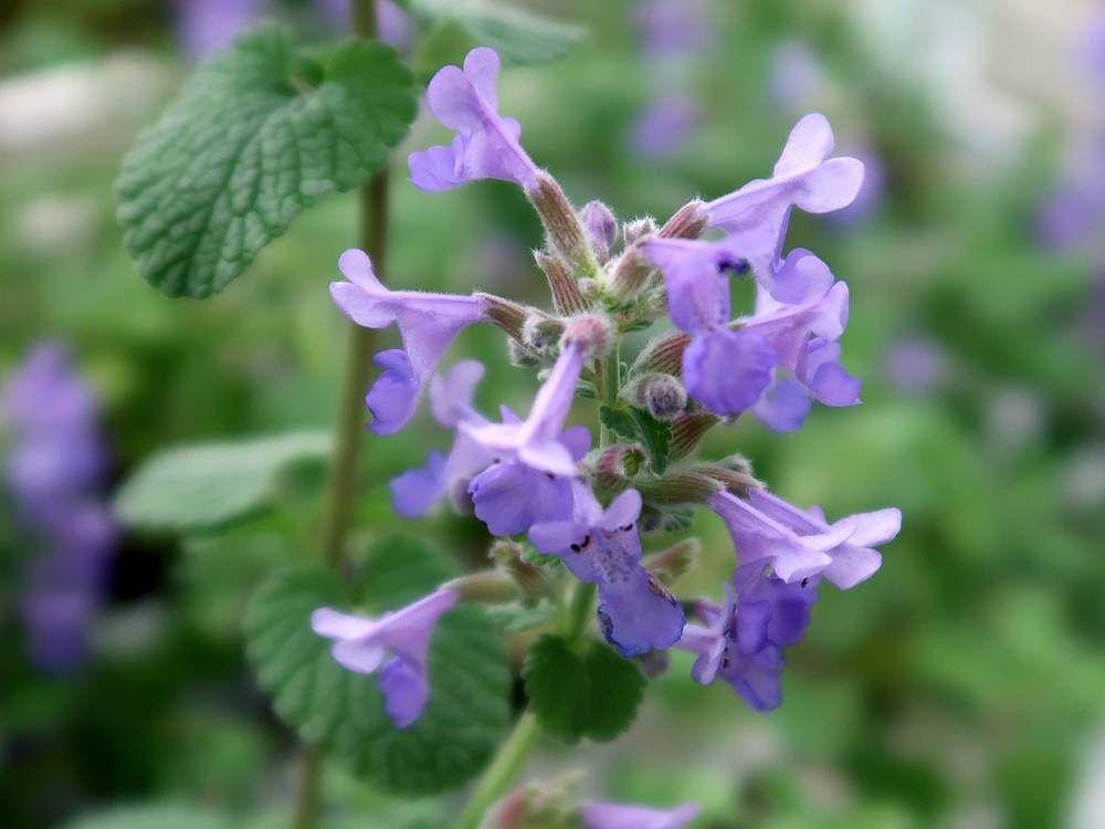 Hiroshiさんの投稿 キャットミント お出かけ先 ハーブ 花のある暮らし 夏の花 紫色の花 花の写真