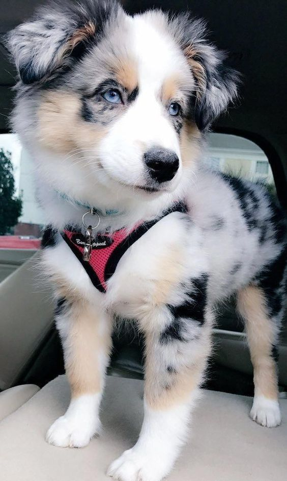 After some selective crossbreeding with English imports like the Border Collie, the Australian Shepherd breed as we know it today was created. #cutepuppies