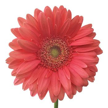 The Coral Reef Gerbera Daisy Flower Will Bring Paradise To Your Special Event The Coral Pink Petals Circle Around A Happy L Pink Gerbera Gerbera Gerbera Daisy