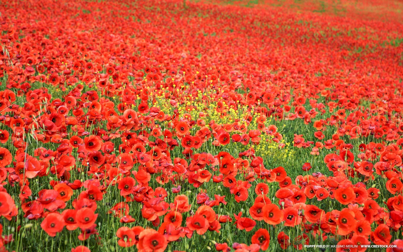 Poppy flower field at night royalty free stock photography image - Field Of Poppies Nature Wallpaper Image Featuring Flowers And Plants