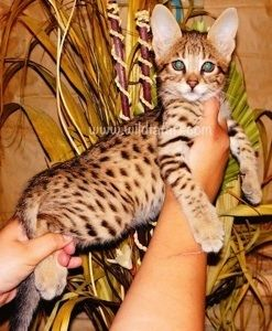 Savannah cats for sale - Savannah cat breeder with F1, F2