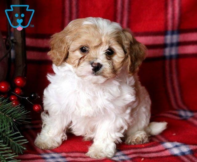 Midnight Cavapoo puppies, Cavapoo puppies for sale
