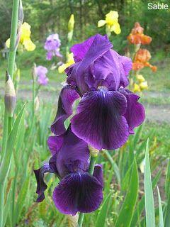 Iris Types Sable Introduced By Paul Cook In 1938 Iris Flowers Iris Garden Iris