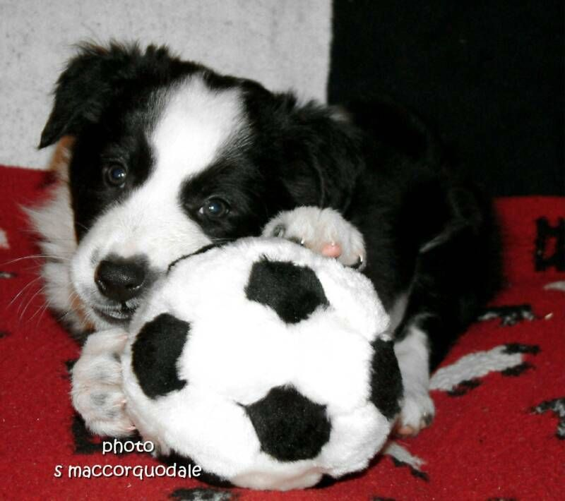 Oh If Only I Had A Big Backyard Border Collie Puppies Cute Dogs Breeds Collie Puppies For Sale