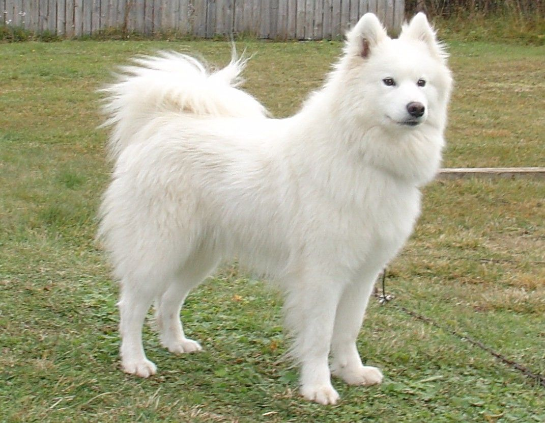 Download Samoyed Chubby Adorable Dog - 2d14a91b2c58862d05c28a0410119f31  Pic_201079  .jpg