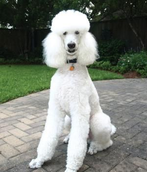 Marcel Age 2 Poodle Dog Dye Large Dog Breeds